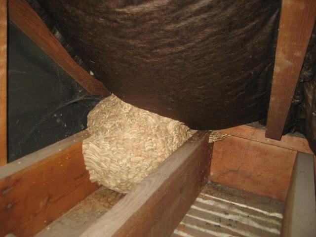 Wasp Nest In Attic